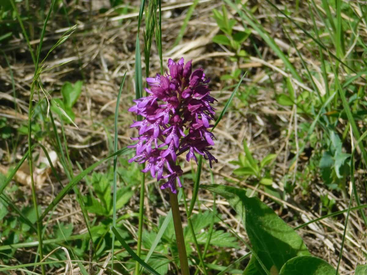 grape hyacinth, nature, grass, flower, garden, leaf, outdoor, plant
