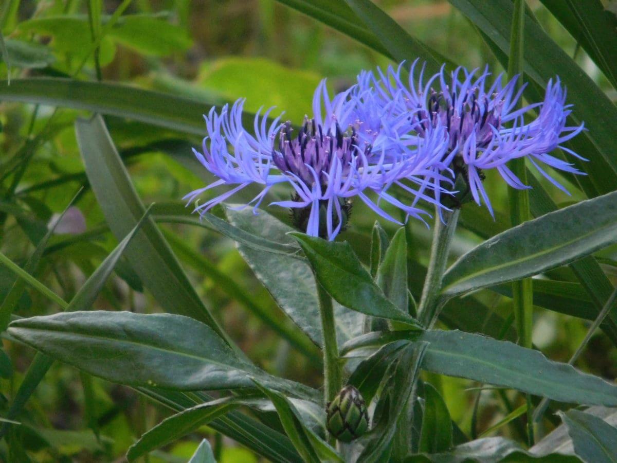 flower, summer, garden, nature, green leaf, plant, pistil, blue
