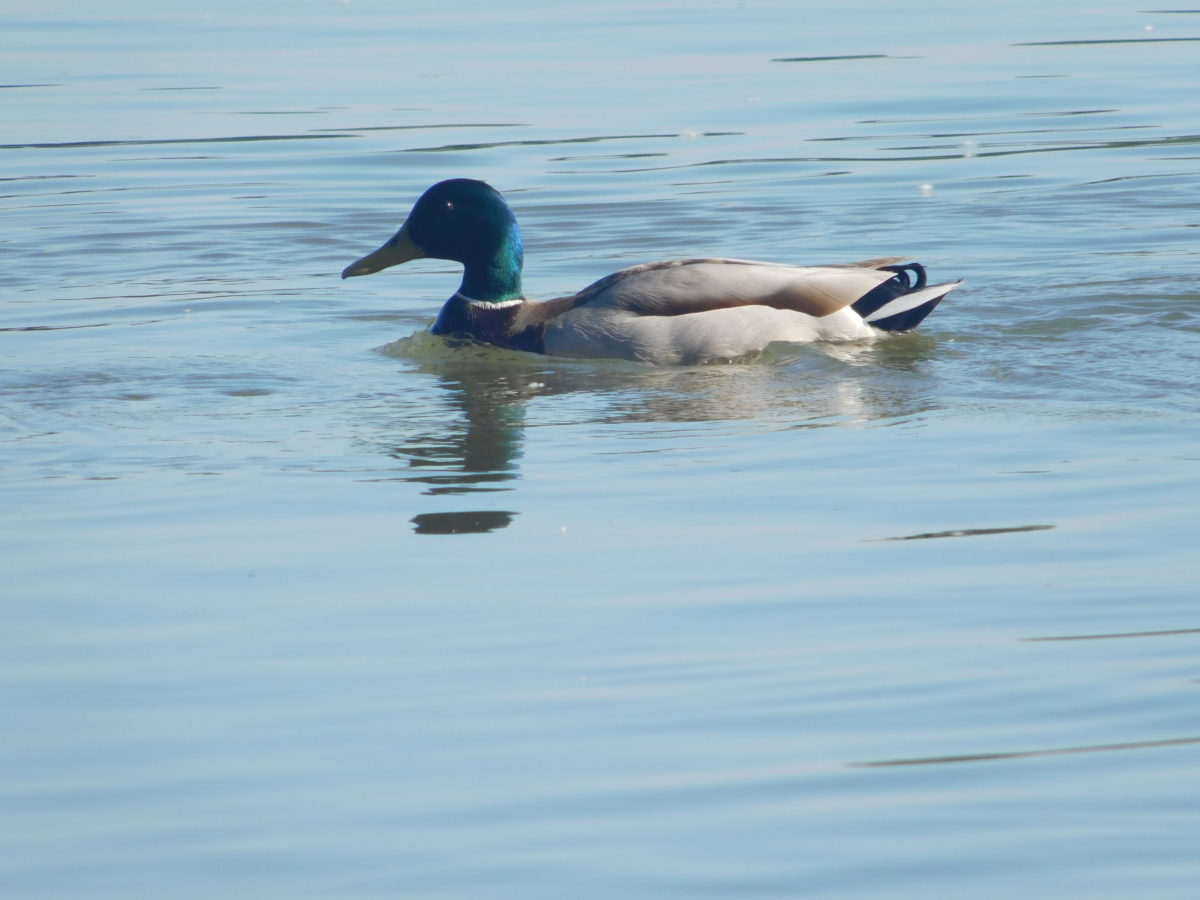 duck, waterfowl, lake, lake, water, bird, outdoor, animal