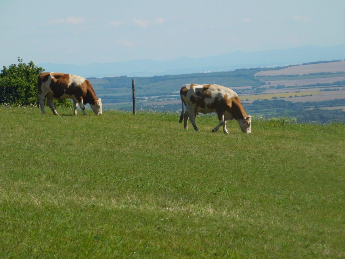 cow, grass, grassland, cattle, landscape, livestock, agriculture