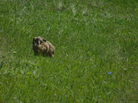 wild rabbit, grass, nature, field, lawn, outdoor, animal