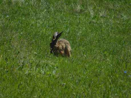 animal, wildlife, grass, hare, wild rabbit, bunny, outdoor