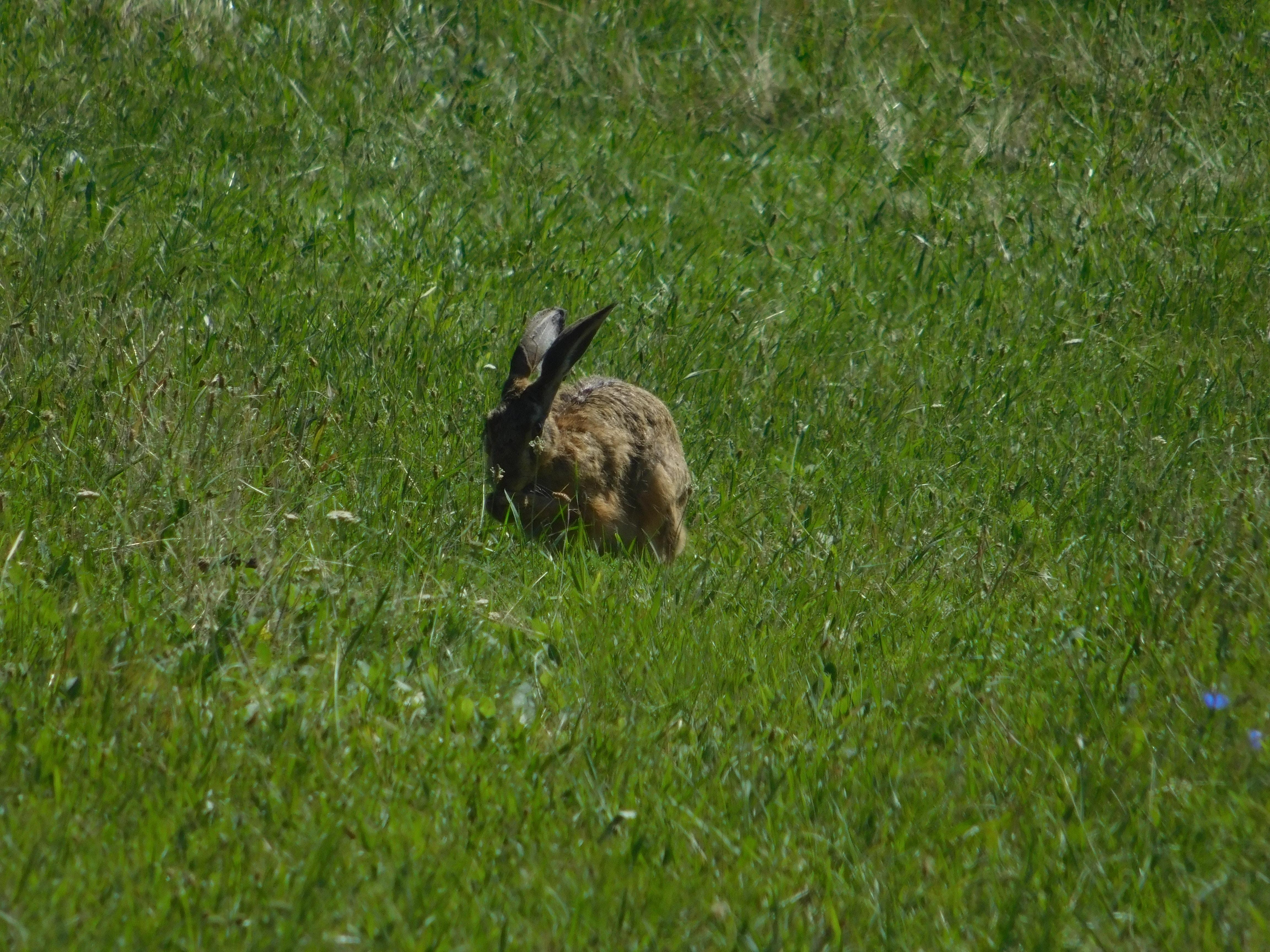 735deae61 Bezplatný obrázek: zvíře, divoká zvěř, tráva, zajíc, Divoký králík ...