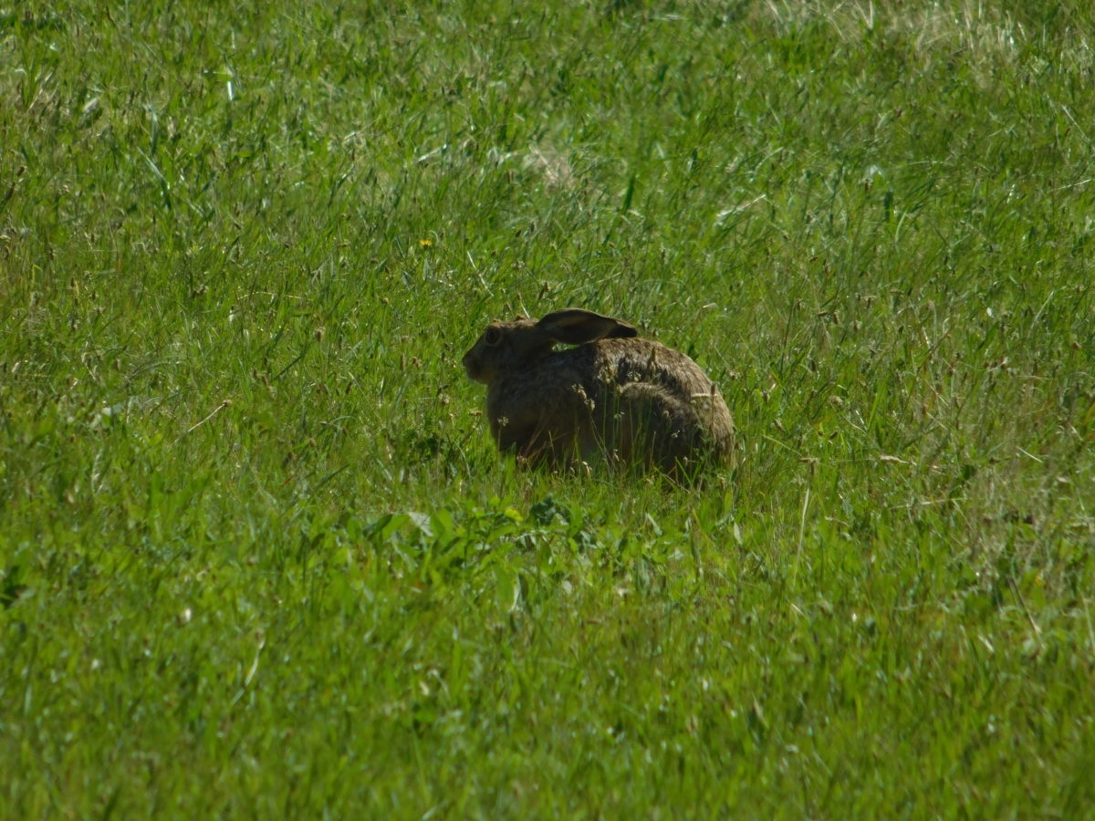 wild rabbit, animal, outdoor, natural habitat, grass, nature, rodent, outdoor, field