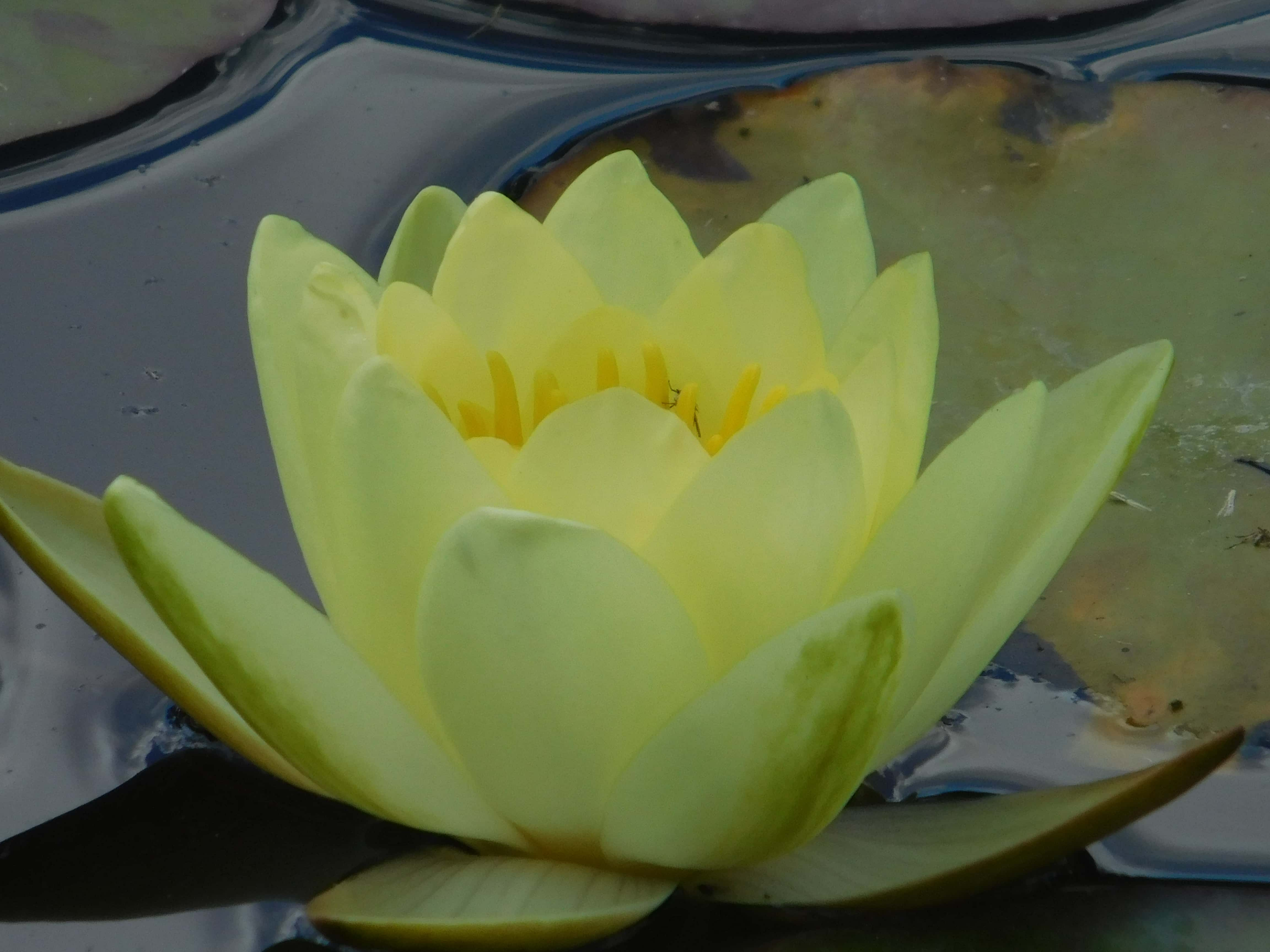 Free Picture Water Lily Green Leaf Petal Lotus Yellow Flower