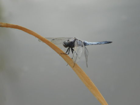 wildlife, dragonfly, insect, arthropod, invertebrate, outdoor