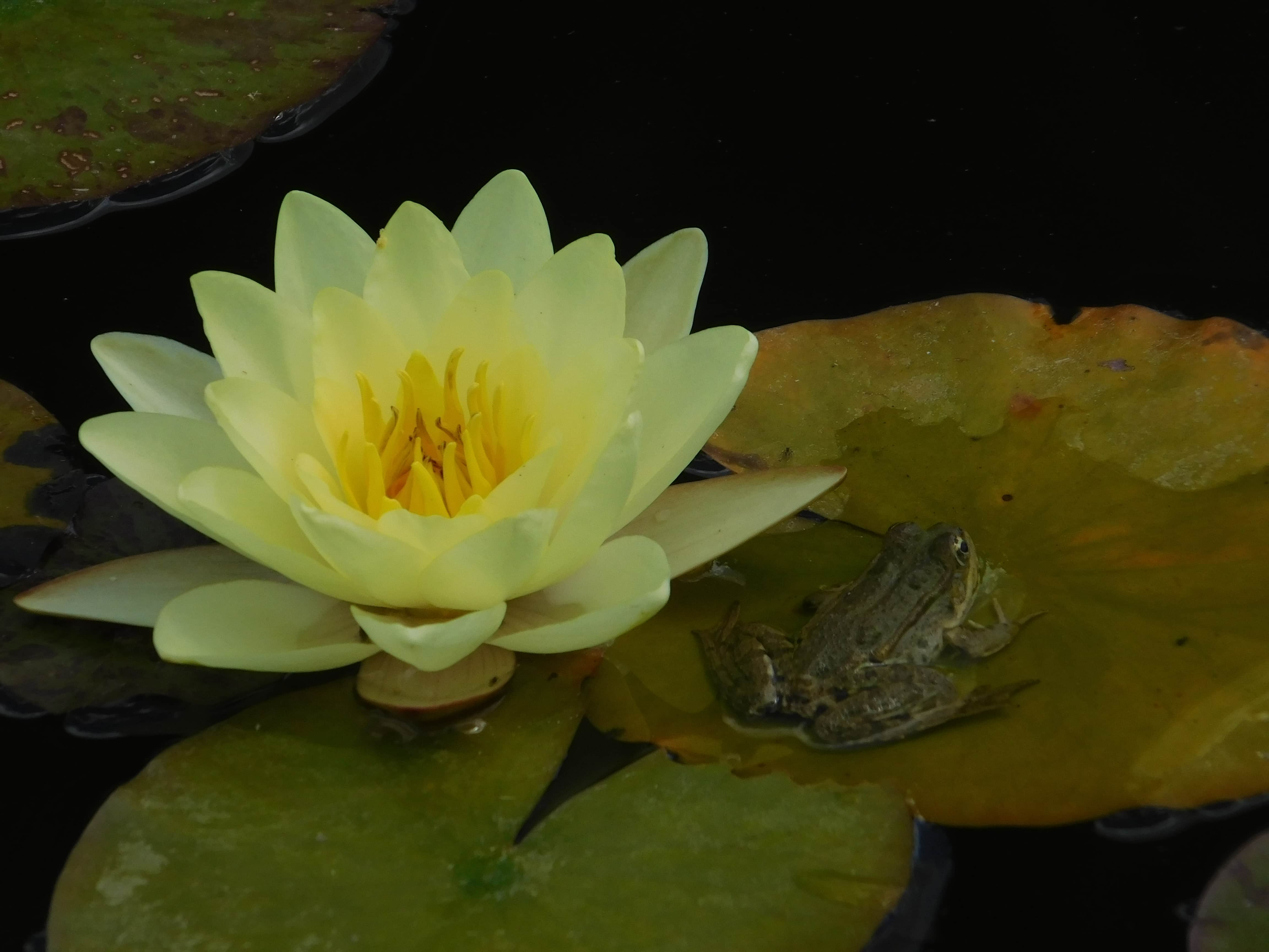 Free Picture Lotus Frog Animal Nature Green Leaf Flower Water