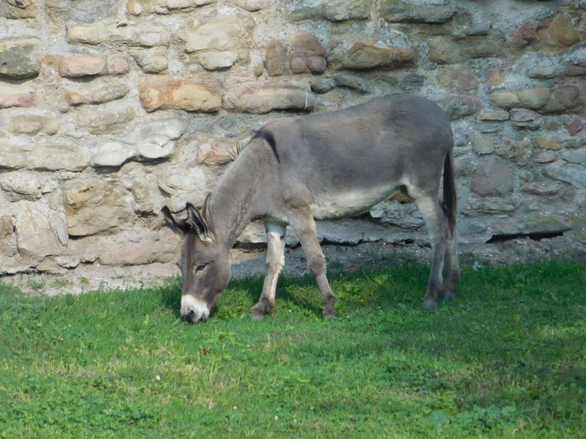 магаре, животните, каменна стена, животните, природа, трева, на открито