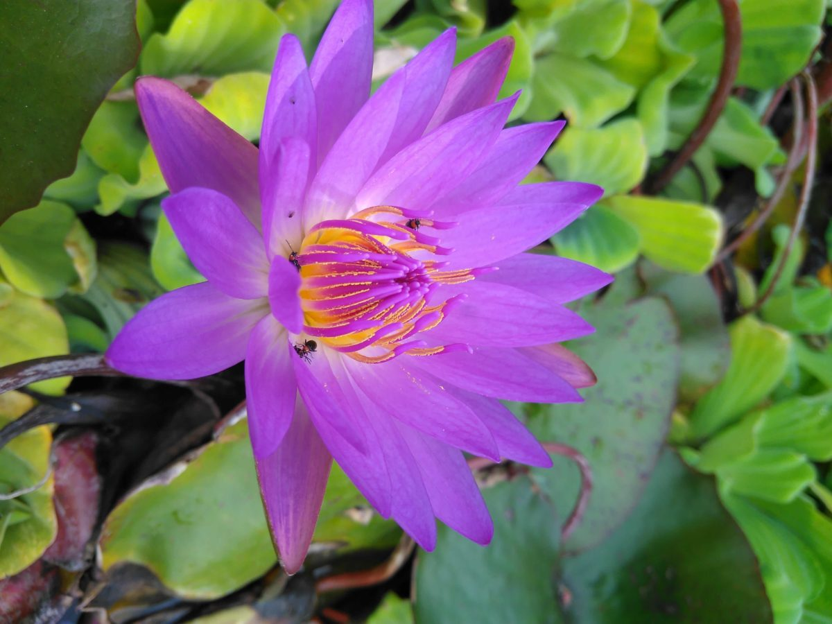 lotus flower, beautiful, purple flower, summer, nature, garden, leaf, water lily, aquatic herb