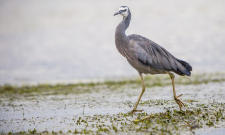 heron bird, nature, animal, wildlife, mud, outdoor, swamp, wild, beak