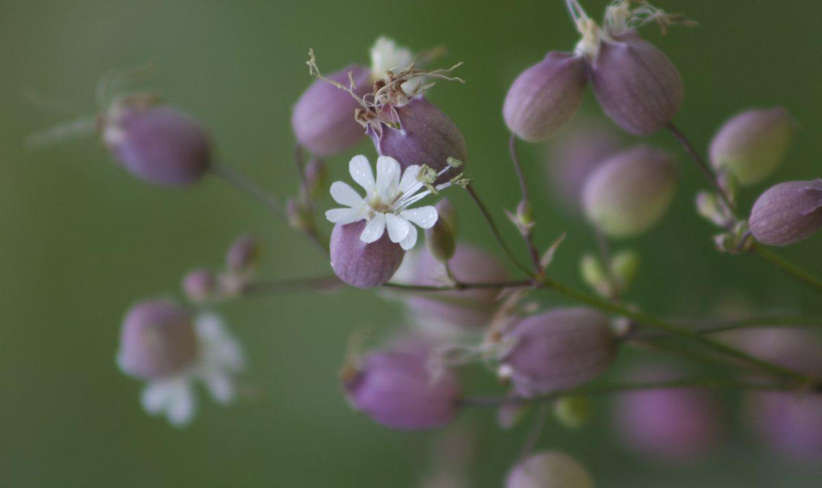 garden, nature, summer, pink flower, leaf, herb, pink, blossom