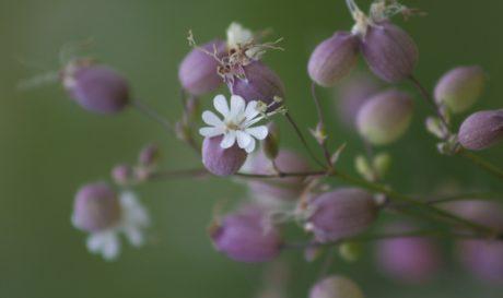 Tuin, natuur, zomer, roze bloem, blad, kruid, roze, bloesem