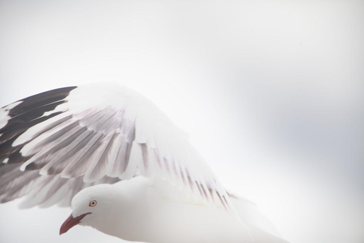seagull, white bird, animal, sky, flight, feather, cloud, daylight, sunshine
