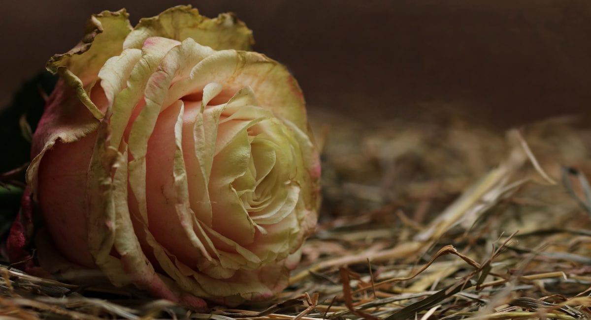 natur, Herb, plante, Rose, blomst, bud, petal