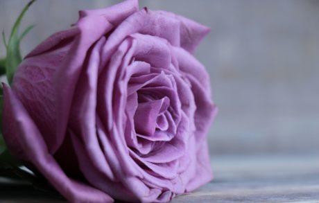 Rose, natur, blomst, kronblad, lyserød, plante, blomstre, have