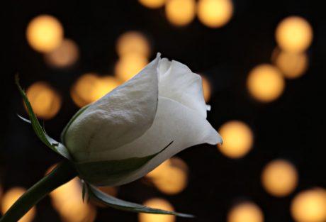 kronblad, knop, blomst, Rose, lys, mørk