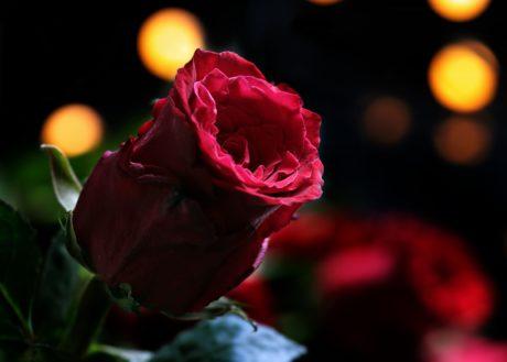 Rose, blomst, plante, kronblad, lyserød, have, blomstre