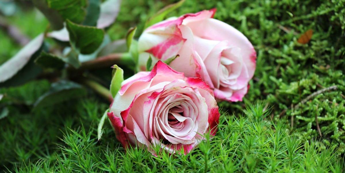 花, 花园, 夏天, 叶子, 自然, 玫瑰, 粉红色, 花瓣, 排列