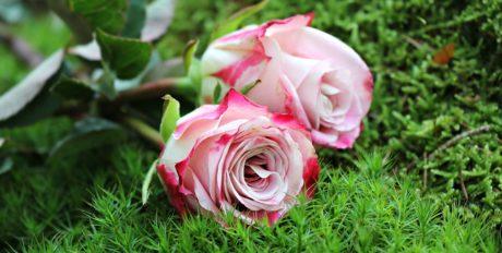 blomst, have, sommer, blad, natur, Rose, lyserød, kronblad, arrangement