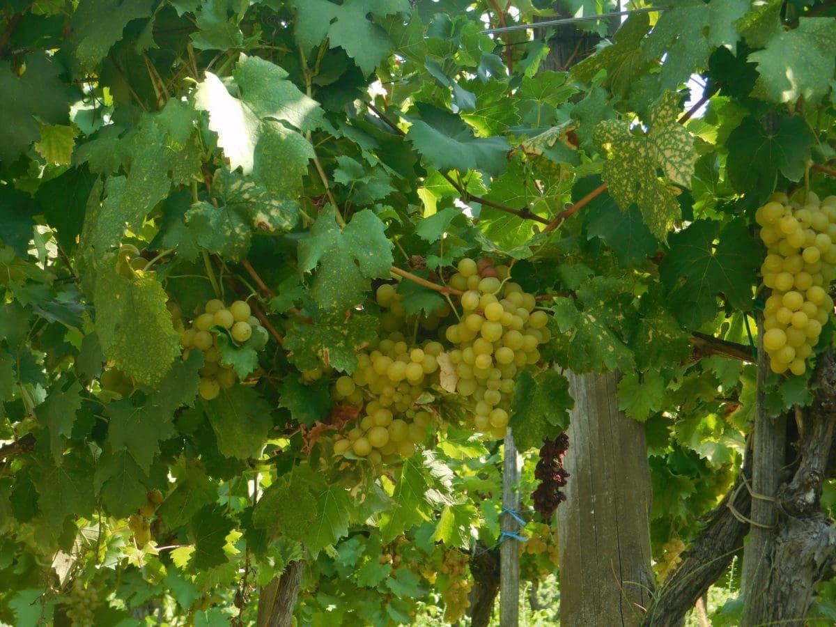 포도 재배, 자연, 그 레이프 바인, 포도밭, 잎, 과일, 농업
