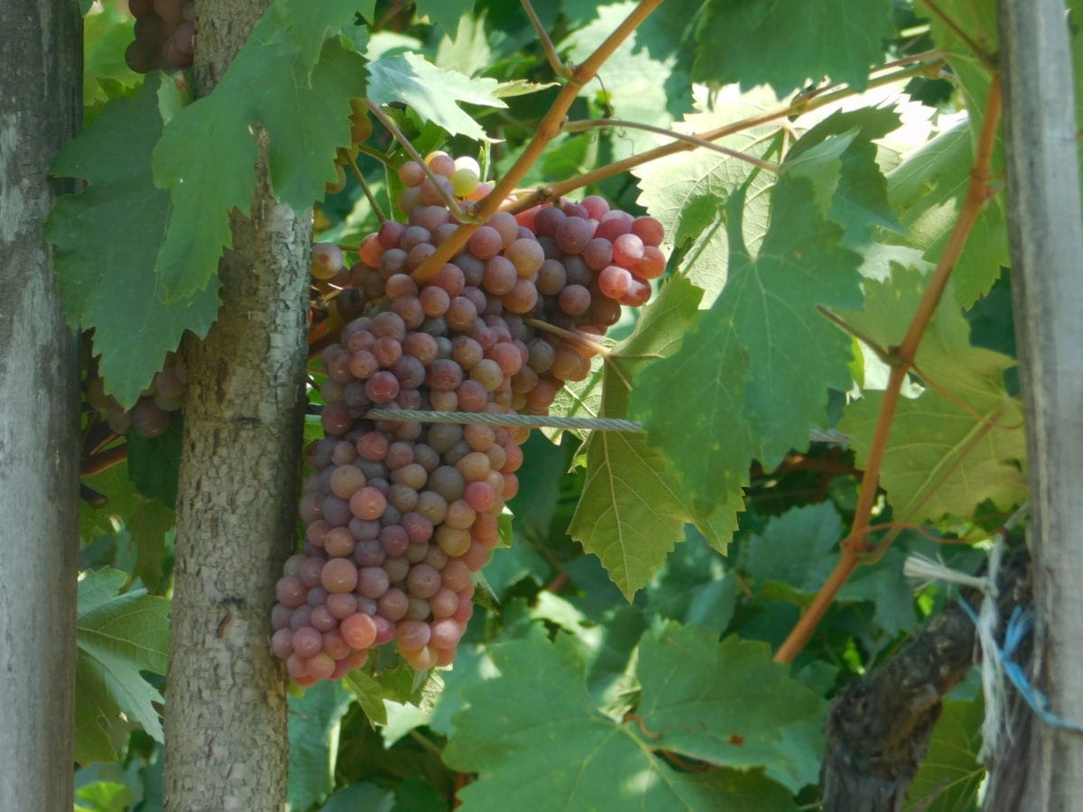 alimento, hoja, viñedo, agricultura, fruta, naturaleza, uva, uvas