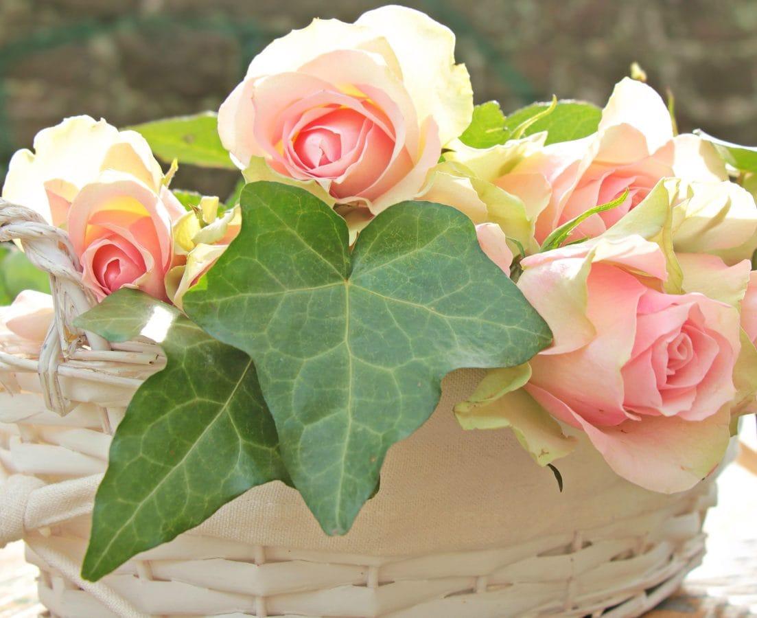 okvětní lístek, příroda, list, růže, květiny, rostlina, uspořádání