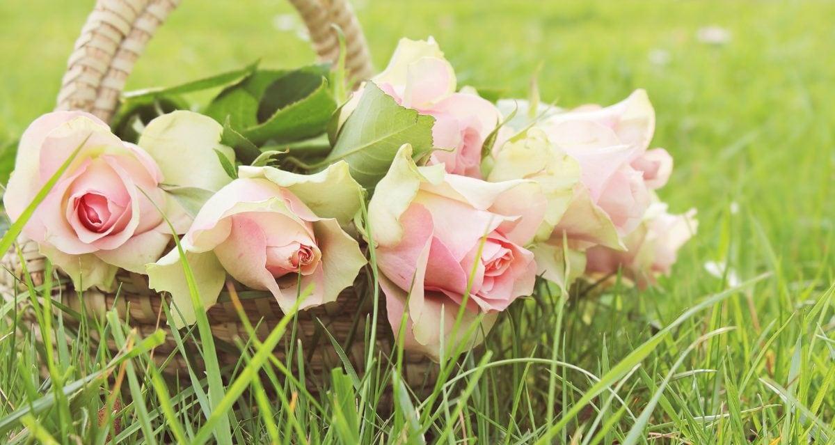 Záhrada, okvetné lístok, príroda, kvetina, leto, lístie, ružová, rastlín