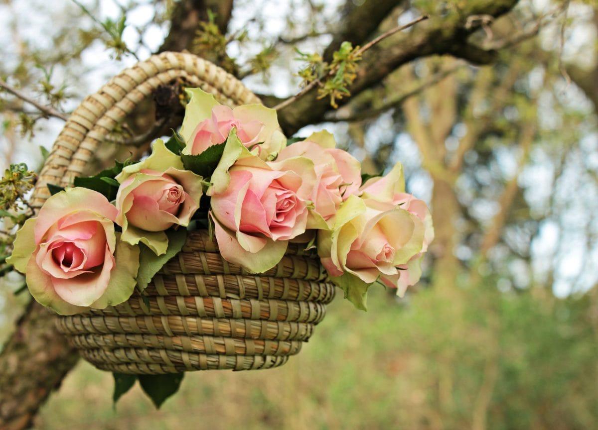 hermoso, naturaleza, hoja, flor, cesta, jardín, color de rosa, árbol