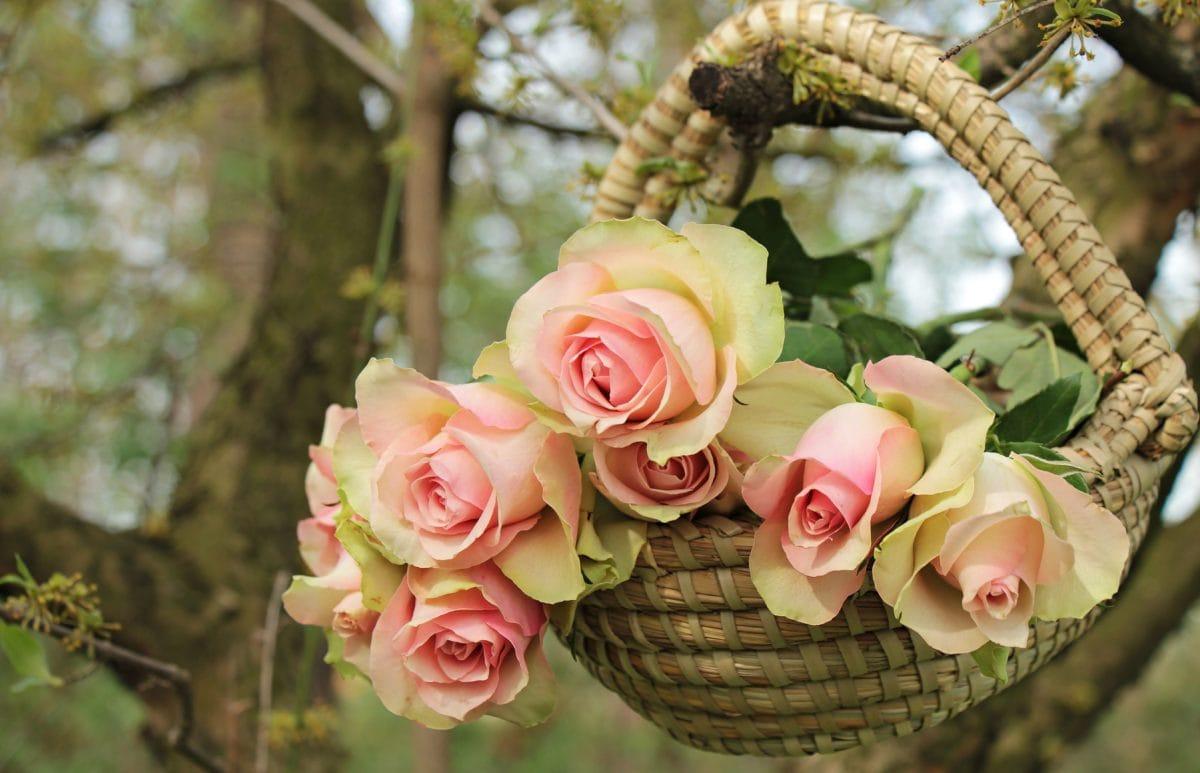 Rose, luonto, kukka, Puutarha, lehtiä, järjestely, vaaleanpunainen, terä lehti