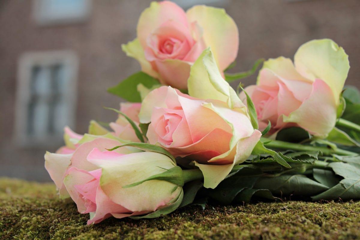 okvětní lístek, růže, květina, aranžmá, růžová, rostlin