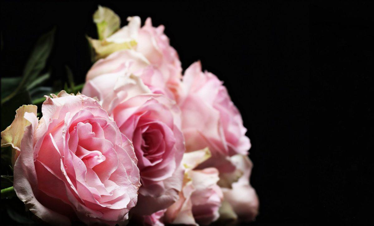 flower, rose, beautiful, leaf, nature, petal, pink, plant