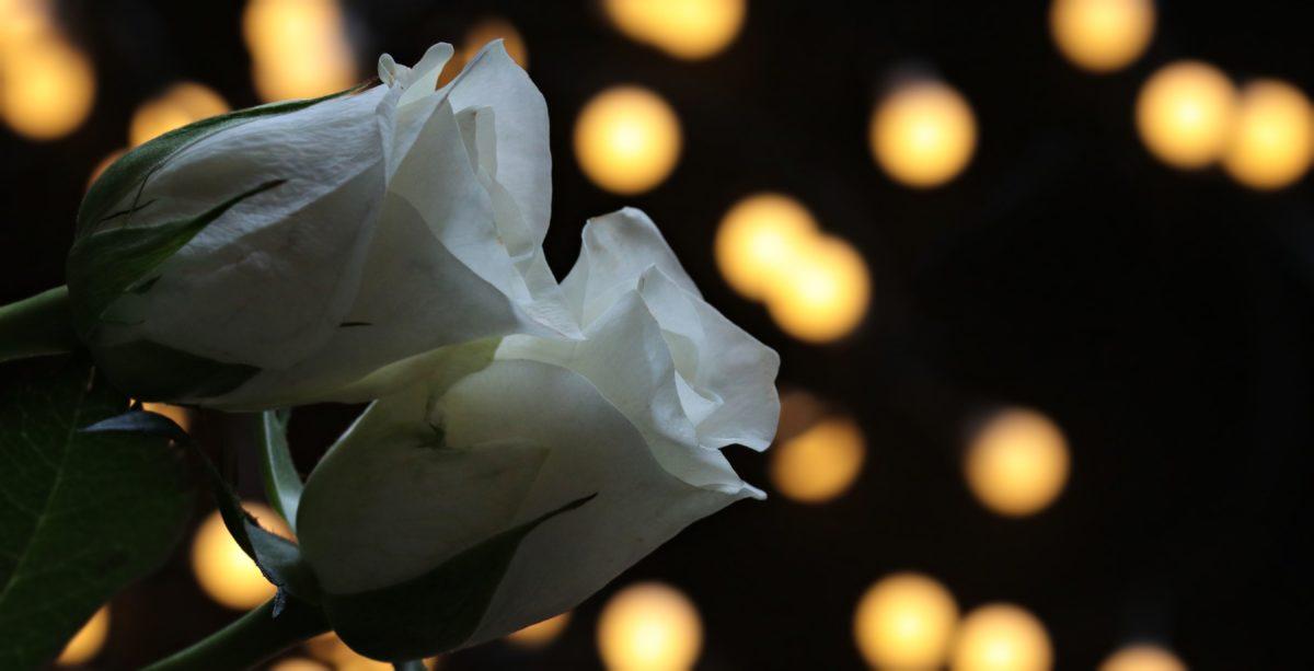 hvit, Rose, blomst, petal, natt, lys, romantikk