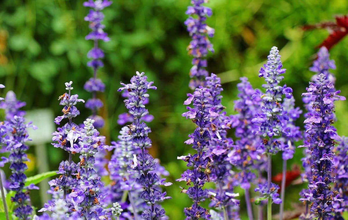 have, natur, sommer, blomst, urt, plante, lavendel