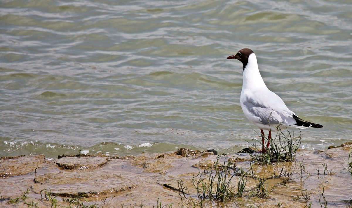 fauna, natura, uccello, erba, puntello, acqua, lago, piuma, becco, esterno