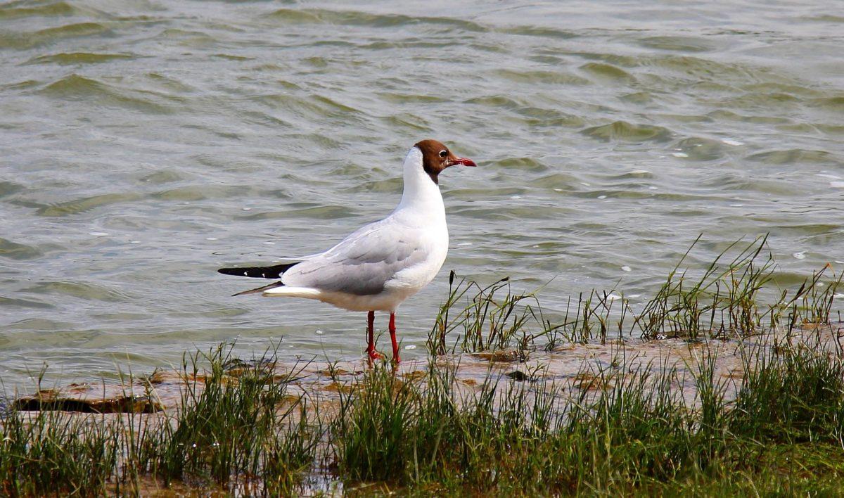 fauna selvatica, uccello, becco, erba, puntello, acqua, Lago