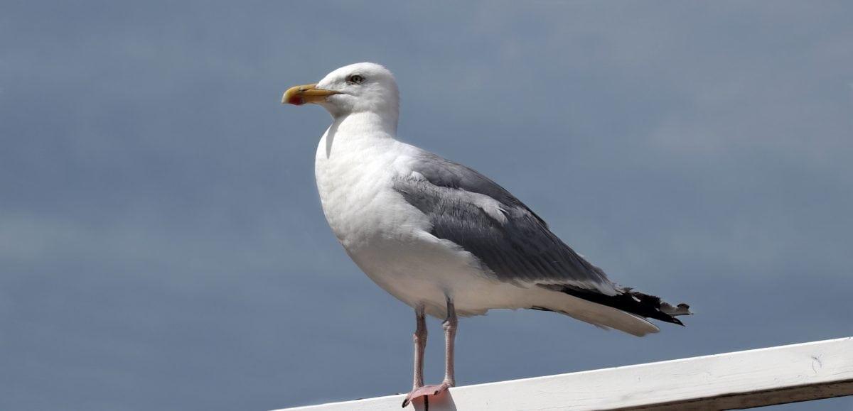 madár, vadvilág, Seabird, sirály, csőr, toll, tenger, állati