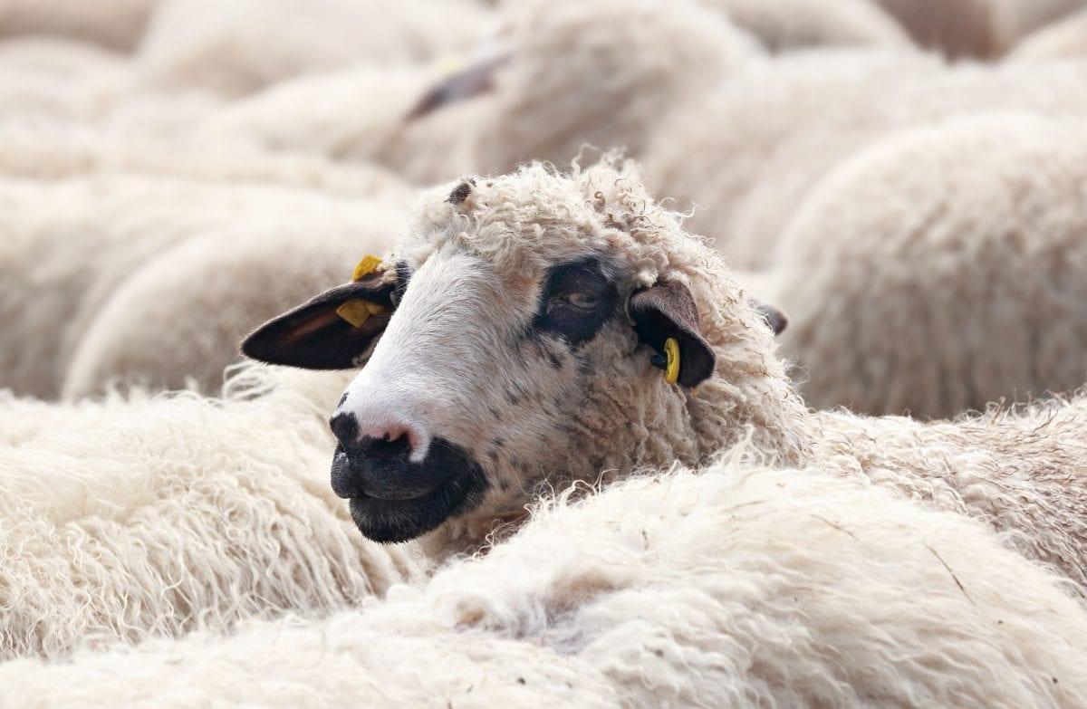 Natura, Merino, owce, jagnięcina, zwierząt, pole, wełna