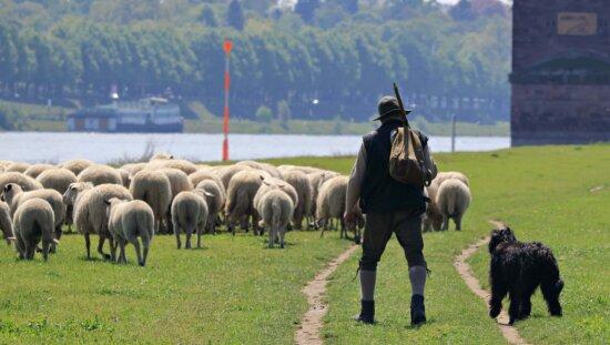 sheep, livestock, agriculture, grass, ranch, man, dog, field