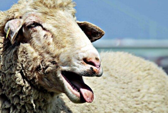 agriculture, livestock, sheep, animal, merino, nature