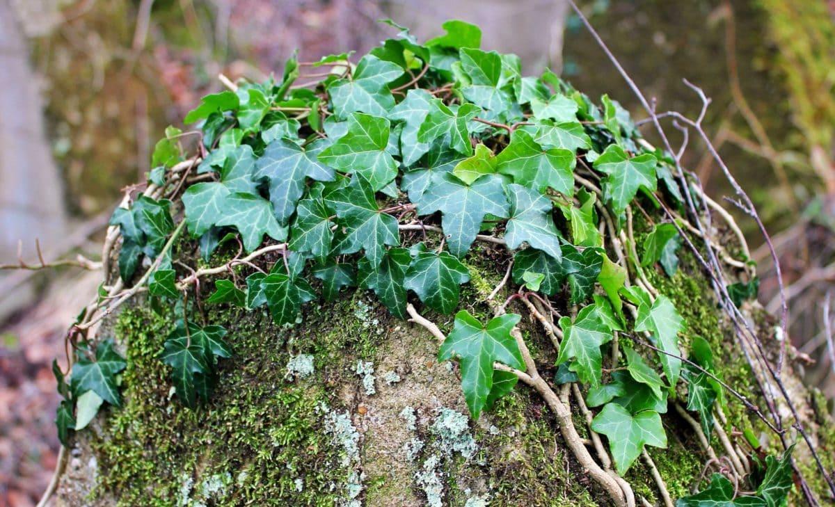 murgröna, träd, natur, löv, trädgård, växt, ört, Utomhus, gräs