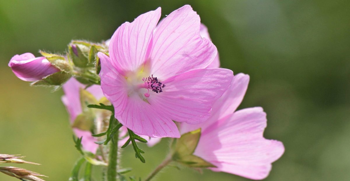 Natur, Blume, Blatt, Sommer, Wild, Garten, Blütenblätter, pink, Pflanze