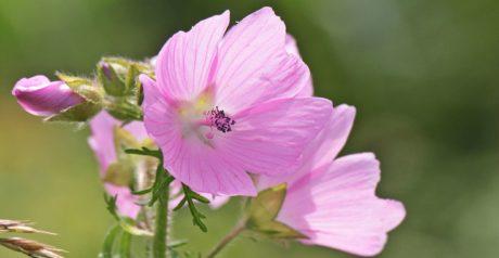 naturaleza, flor, hoja, verano, salvaje, jardín, Pétalo, color de rosa, planta
