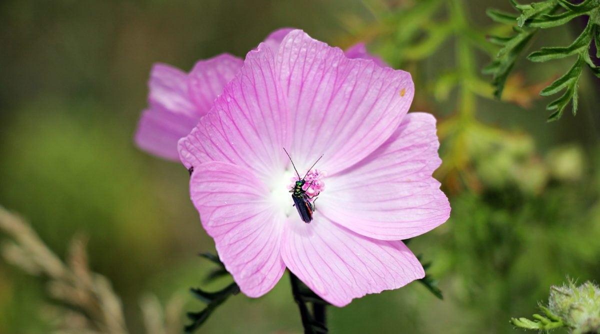 have, blad, natur, blomst, sommer, plante, lyserød, blomstre