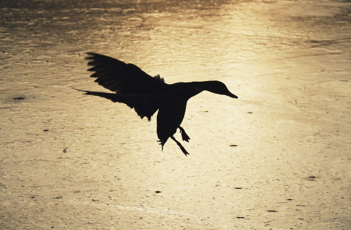 bird, water, beach, wildlife, wild, flight, shadow