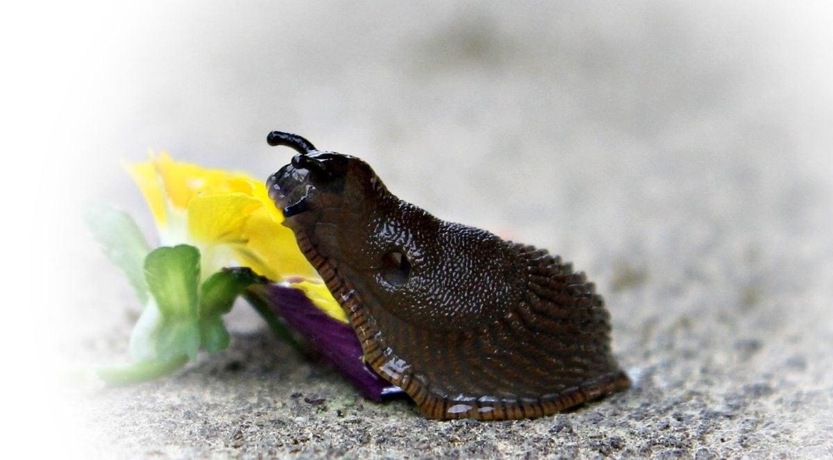invertébré, nature, escargot, animal, fleur, plante