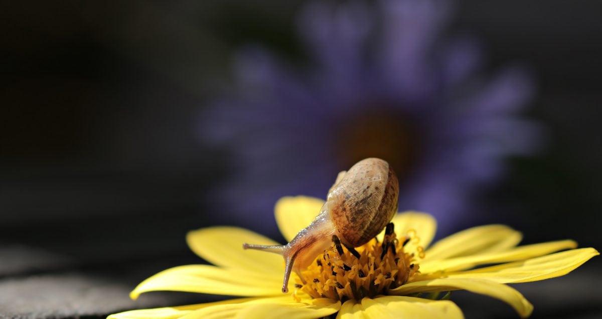 natur, sommer, hage, blomst, petal, plante, snegl, solsikke