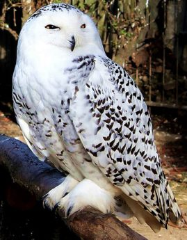 white owl, animal, wildlife, portrait, bird, nature, raptor