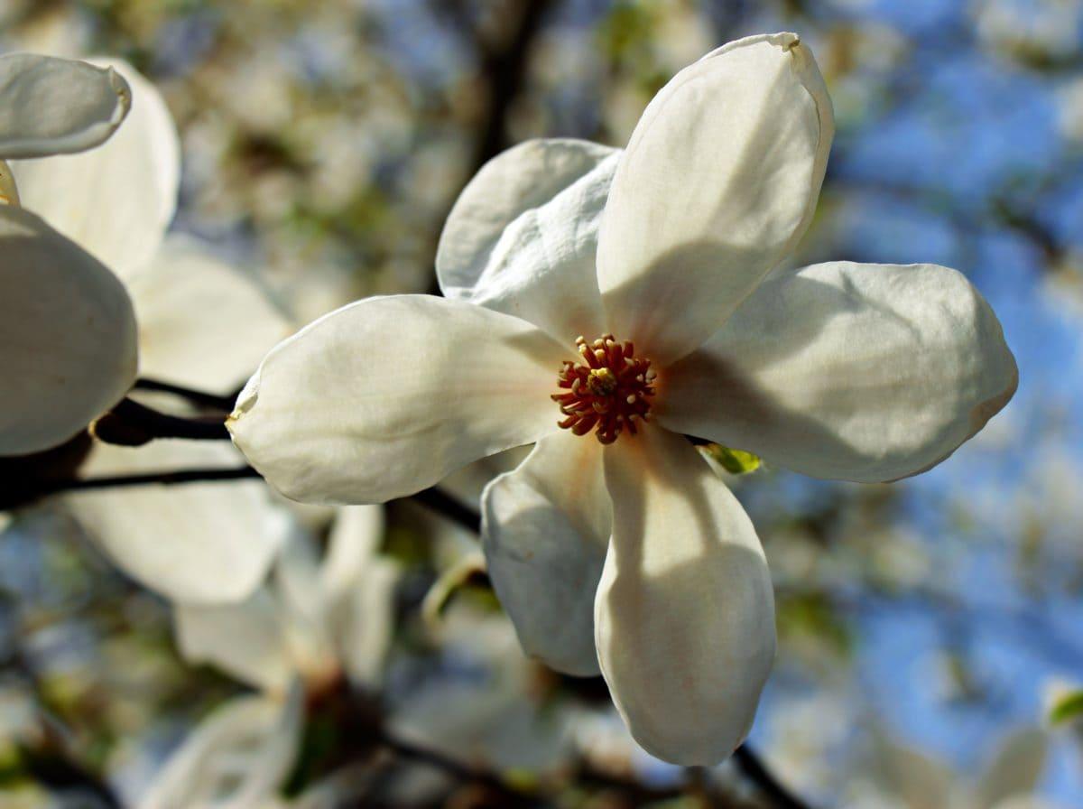 jardín, Magnolia, naturaleza, flor, rama, árbol
