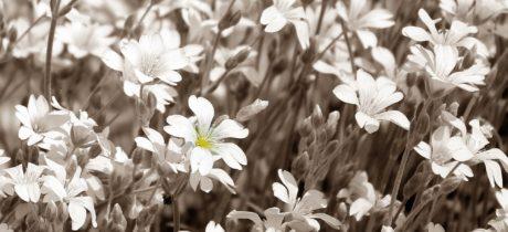 λουλούδι, καλοκαίρι, Κήπος, πέταλο, φύση, βότανο, φυτό, άνθος