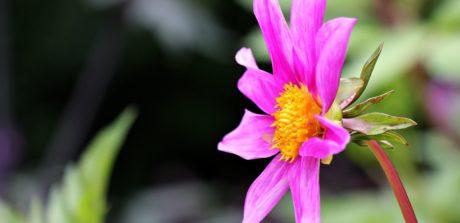 kwiat, liść, lato, natura, ogród, różowy, Płatek, roślina